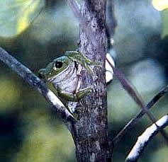 『モリアオガエル』の画像