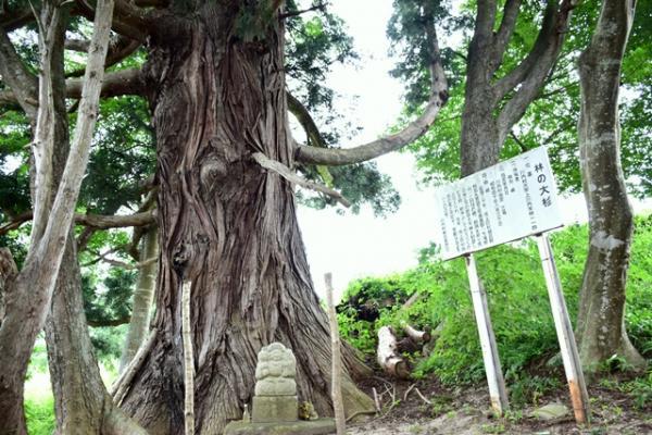 『大杉2』の画像